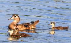 wood duck hen & ducklings at Cardinal Marsh IA 854A3148 (lreis_naturalist) Tags: county wood duck cardinal ducklings reis iowa larry marsh hen winneshiek