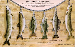 Canadian Game Fish (SwellMap) Tags: postcard vintage retro pc chrome 50s 60s sixties fifties roadside midcentury populuxe atomicage nostalgia americana kitsch animal animals wildlife pose posing fish fishing hunting