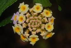 Lantana camara (dustaway) Tags: tullerapark tullera northernrivers nsw nature australia verbenaceae lantanacamara flowers exotic weed