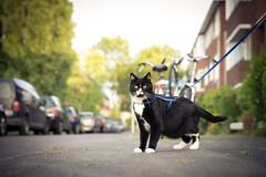A note from the Cat (Fardo.D) Tags: karel tuxedo kitty leash walk downstairs street