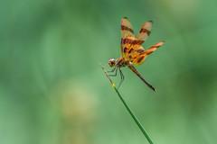 A Dragon Beauty (PhillymanPete) Tags: summer macro dragonfly nature bug green insect orange halloweenpennant philadelphia pennsylvania unitedstates us nikon d7200 wings