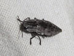Metallic Wood Boring Beetle, Dicerca punctulata, Wharton State Forest, Tabernacle, NJ (Seth Ausubel) Tags: coleoptera buprestidae