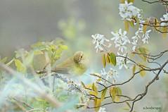 loiseau  sur la branche (nicole boxberger) Tags: oiseau fleurs pastel