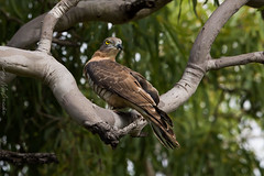 Pacific Baza Townsville Common North Queensland (danny.mccreadie2) Tags: pacific baza townsville common north queensland