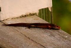 (Zatanen) Tags: lisko ödla lizard zootocavivipara skogsödla commonlizard