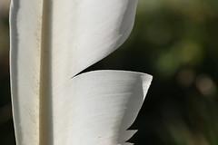 SwanWhite (liisatuulia) Tags: porkkala sulka feather quill joutsen swan