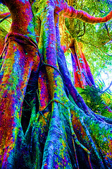 Luminous Tree SonTra (Undiscovered Gilfillan) Tags: banyantree figtree nature forest