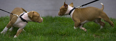 Doggies (swong95765) Tags: dogs dog canine leash play animals joy excited happy greet puppies maneuver