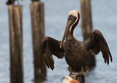 Brown Pelican - Mississippi Gulf Coast (Doug-n-Daina) Tags: biloxi brownpelican mississippigulfcoast wildlife sunbathing feather pelican