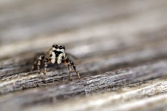 Little Mr. Jumping Spider (sramses177) Tags: jumpingspider macro depth field dof bokeh olympus 60mm animal nature