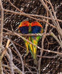 coeur de loris en couleurs pour #Nice (zabou256 aussi sur Ipernity) Tags: nice oiseau bird vogel oiseaux birds coeur couleur color farben couleurs colors