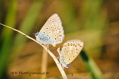 Couple Papillon (PhotOw'graphie) Tags: papillon insecte nature faune sauvage miniature petit beau extrieur t soleil soir naturel libert libre