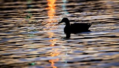 Reflections (imageClear) Tags: duck silhouette mallard wildlife nature light night dark reflections animal water lake lakemichigan aperture nikon d600 80400mm lovely imageclear flickr photostream highiso