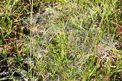 pkhl / spider-web (debreczeniemoke) Tags: nyr summer reggel morning rt meadow f grass harmat drew pkhl spiderweb olympusem5
