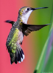 Ruby-throated Hummingbird female (Dave Hollender) Tags: blueheronfarm crocosmialucifer rubythroatedhummingbirdbird flower inflight