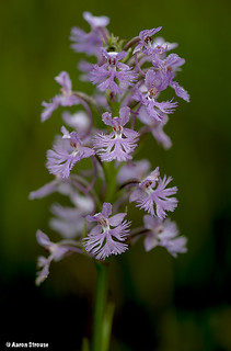 enigmatic fringed orchis hybrid, platanthera x enigma