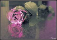La richesse de la rose, c'est sa fragilit ... (Sev G) Tags: rose douceur fleur richesse fragilit