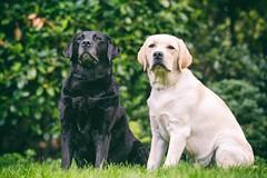 AP1607-0323 Nikki and Buddy (Jan-Willem Adams) Tags: adamsphotography buddy fordjw gelderland honden janwillemadams labrador nederland netherlands nikki puppy