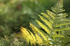 Fade into autumn (liisatuulia) Tags: porkkala fern inthewoods