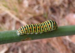 Oruga de Papilio Machaon (Porschista) Tags: jardndomstico maresme catalunya oruga larva papuliomachaon hinojo fonoll caterpillar gusano worm