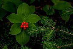 Bunchberry & Hemlock Needles (Bindu&Sudhir) Tags: cornus canadensis hemlock bunchberry summer adirondacks paul smith college vic wildflower native