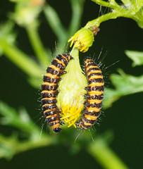 2016_07_0420 (petermit2) Tags: cinnabarmothcaterpillar cinnabarmoth moth caterpillar clumberpark clumber sherwoodforest sherwood nottinghamshire nationaltrust nt