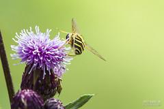 Nature calls-0813 (>>Marko<<) Tags: nature outdoor suomi finland canon valokuvaus insect macro flowerfly kukkakärpänen