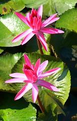 DP1U4096 (c0466art) Tags: 2016 summer season lotus field  wate rlilies cloom colorful flowers scenery landscape canon 1dx c0466art