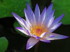 after the rain (oneroadlucky) Tags: nature plant flower purple drop rain