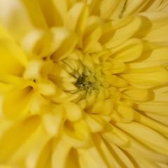 mellow yellow (space_child) Tags: soyellow middle inthemiddle macrophoto macroshot geometryofplants flowerpower macromania flowerporn flowermagic macromagic macromood macroprefection simplybeautiful naturelower flowerdaily