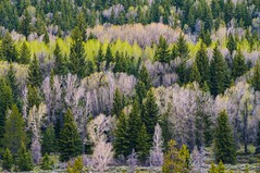 Nothing but Trees.IMGP7471 (candysantacruz) Tags: g grandtetonsnationalpark wyoming trees forest spring