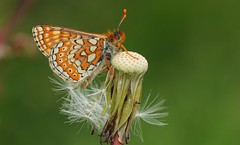 Marsh Fritillary 260516 (3) (Richard Collier - Wildlife and Travel Photography) Tags: wildlife naturalhistory macro butterflies insects british marshfritillary