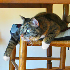 Gracie 8 August 2016 0588Ri sq (edgarandron - Busy!) Tags: cat cats kitty kitties tabby tabbies cute feline gracie patchedtabby