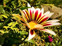 (changizbaluch) Tags: flower vivo phone amazing nature