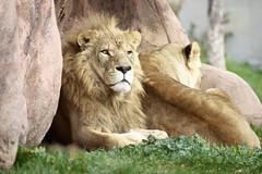 LINDY GONE (conwest_john) Tags: lindy torontozoo lion explore specanimal specanimalphotooftheday