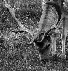 IMG_4572-7 (immieHawks) Tags: stag deer male dyrham park eating grass