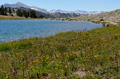 Meadow, Gaylor, Lakes, Yosemite (Williams5603) Tags: landscape easternsierra sierranevada wild yosemite yosemitevalley lake meadow flowers mountains gaylor lakes
