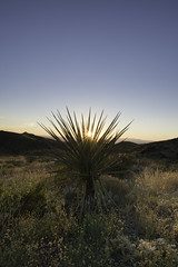Big Bend Yucca at Sunset (1 of 1)