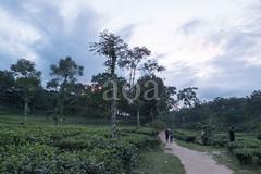 H504_3582 (bandashing) Tags: trees landscape green lush teagarden teabush plaant rollinghills sky sylhet manchester england bangladesh bandashing aoa socialdocumentary akhtarowaisahmed