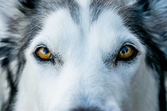 Isabel: My Alaskan Malamute / Husky mix (JChamboWeb) Tags: pets huskie husky malamute alaskan dog portraits