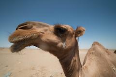 Maranjab Desert (MadGrin) Tags: maranjab geo:lat=3426274500 isfahan iran irn desert maranjabdesert camelli chhtaq camels animals aminali deserto geotagged geo:lon=5166799000 chhtaq