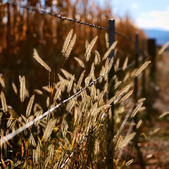 51/365 Fence Friday (fotovivo / peevish me) Tags: fencefriday 365 postaphotoaday autumn golden grasses barbedwire wire lines bokeh dof glowing fotovivo square sunlight