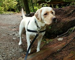 Gracie looking very interested (walneylad) Tags: gracie dog canine pet puppy lab labrador labradorretriever cute october fall autumn
