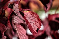 Autumn - IMG_7747x (berndkru) Tags: canonef100mmf28lisusmmacro colorefexpro4 herbst autumn hartriegel cornus dogwood rot read makro macro canoneos6d bokeh color colour farbe