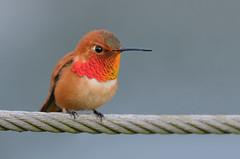 Rufous Hummingbird (Wes Aslin) Tags: rufoushummingbird britishcolumbia canada ca aldergrove bird avian selasphorusrufus