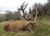 New Zealand Red Stag Hunting - Christchurch 42