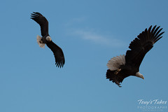 8 of 8 - Bald Eagle chases off another eagle