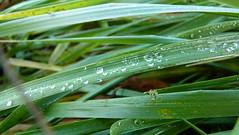Wassertropfen auf dem Grünen Gras (lilymgc) Tags: green drops wasser gras grün waterdrops wassertropfen