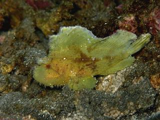 Taenianotus triacanthus (Étang-Salé)