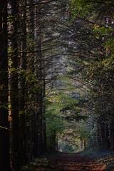Sapins pinces à peau (Max Sat) Tags: aforest automne autumn charmeslagrande chiaroscuro clairobscur colorful colors couleurs forest forêt français france french fujixe1 xe1 xf60 xpro1